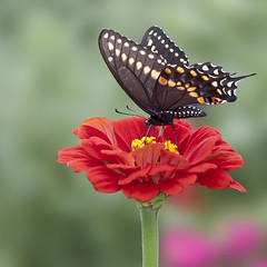 Flutter-Bye (Bereno DMD) Tags: red wild flower color cute green nature animal photoshop butterfly bug garden insect fly wings bokeh free