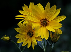 Yellow Flowers (Diane Marshman) Tags: summer orange plants plant green apple nature leaves yellow closeup garden petals blossom pennsylvania earth small jerusalem center pa bloomer sunflower late tall blooms northeast artichoke perennial hardy spreading sunchoke sunroot