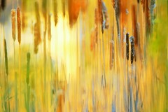 four walls are not enough (dan [durango99]) Tags: blue brown green yellow bokeh near cattails marsh abstraction yearsago typha catninetail