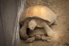 Turtles (♥siebe ©) Tags: holland netherlands dutch animal zoo rotterdam blijdorp schildpad turtle nederland dier dierentuin 2014