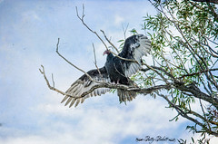 turkey vulture (Pattys-photos) Tags: turkey idaho vulture marketlakewildlifemanagementarea
