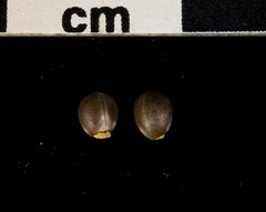 Euphorbia palustris (buearchlab) Tags: 0276