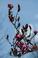 DSC_0373 (Nguyen-Ha) Tags: flowers blue red mountains native australia rhododendron waratah tomah proteas