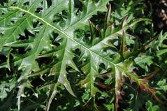 Akanthus (Acanthus mollis); VanDusen Botanical Garden, Vancouver (188) (Chironius) Tags: canada vancouver britishcolumbia acanthaceae kanada lamiales asterids akanthusgewächse lippenblütlerartige lamiids