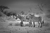 Zebras, Amboseli (Poulomee Basu) Tags: africa wild portrait blackandwhite holiday topf25 beautiful beauty landscape evening cool raw kenya stripes dramatic 100v10f safari zebra wilderness herd herbivore nonchalant amboseli riftvalley africansafari animalportrait d90 nikond90 blackandwhiteonly nikond90club d90users therubyawardsinvitation riftvalleywildlife