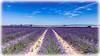AL-Lavande-Valensole-20150626-015.jpg (Shoot Enraw) Tags: champs provence 26juin lavandes valensole 18200mmf3556 1116mmf28