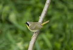 Warbler (a56jewell) Tags: summer ontario black green bird june small warbler a56jewell