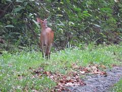 Red Muntjac or Barking Deer (benyeuda) Tags: animal way sumatra indonesia mammal wildlife deer wildanimal waykambas taman muntjac nasional barkingdeer kambas muntiacusmuntjak waykambasnationalpark mammalwatching commonmuntjac