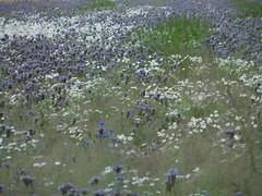 à la Monet (Ed Sax) Tags: flowers blumen monet umweltschutz environment protection blau blue green grün white weis mecklenburg mecklenburgia pommern pomerania