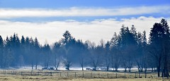 Cows in the fog (shireye) Tags: comoxvalley britishcolumbia bc vancouverisland nikon d610 24120 ff fullframe fx cow cows fence fog mysterious trees hff