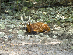 Memphis Zoo 08-31-2016 - Bongo 11 (David441491) Tags: bongo antelope memphiszoo