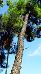Βεροια DSC03692 (omirou56) Tags: βεροια μακεδονια ελλαδα 169ratio sonydscwx500 πευκο κορμοσ δεντρο ουρανοσ macedonia makedonia greece hellas tree sky