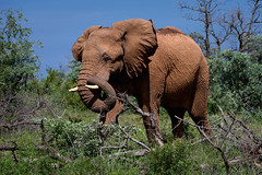 2017 Big FIVE 2 (jeho75) Tags: sony ilce 7m2 tele südafrika south africa madikwe safari big five elephant bull gamedrive