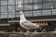 Seagull (zoe toseland) Tags: west quay watermark seagull