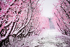 peach tree blossom on a farm in spring snow (DigiDreamGrafix.com) Tags: background park snow winter city snowfall red colors white backgrounds foreground christmas holiday new season seasonal nature rural tree tilt tiltshift december spring wonderland forest frozen wild russia january snowcovered woods covered hiking walk landscapes footpath leading evergreen fruits peach farm bloom blossom abstract blur orange belly bird