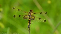 Calico Pennant (fbc57) Tags: vermont dragonflies hinesburg odonata libellulidae skimmers calicopennant celithemiselisa nikond800 nikon80400vrii14xtc gillespiecoppwelchhinesburgriparianforesttrail