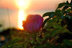 Sunrise Rose (Kadeefoto) Tags: ocean pink flower beach rose sunrise capeneddick shortsandsbeach beachrose yorkme