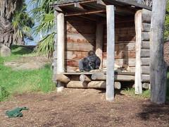 Werribee Zoo - Gorilla Enclosure