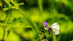 Spotted IV (HausHimmelreich) Tags: flower macro butterfly spring nikon bokeh hiking sommer makro wandern schmetterling frhling d800 frhjahr kleinwalsertal tierwelt blumenundpflanzen