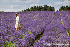 Walking in Lavender (angeladj1) Tags: field lavender cotswolds snowshill