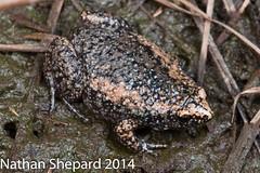 Gastrophryne carolinensis (Nathan Shepard) Tags: summer june canon nathan wildlife north amphibian frog toad carolina shepard 2014 carolinensis 70d anuran narrowmouth gastrophryne declines