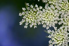 "flowers (""KIUKO"") Tags: blue white flower  shizuoka  hanahaku    hamanako  tamronspaf60mmf20diiimacro11g005"