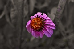 nikon d5100 in-camera selective color: one spikey pink coneflower (norlandcruz74) Tags: new city pink flowers summer usa flower color colors america flora nikon coneflowers july cruz jersey dslr selective colorization incamera 2014 colorisation norland d5100