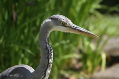 Heron (Merlin_1) Tags: heron watergardens berkshire clivedon canonef70300mmf4556doisusm