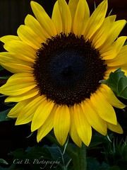 Sunflower (Cat B Photography) Tags: flowers sun flower nature yellow garden happy natural bright saturday sunny august sunflower annual blooms blooming iphone happyweekend haveagreatday birdsplanted