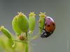 ladybug and spider (koliru) Tags: flower color macro nature beauty closeup fauna canon garden ilovenature fan spider bravo quality insects ladybug tamron 90mm iloveit annimal flickrpix abigfave