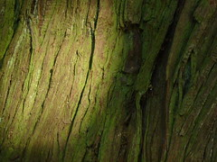 Riesen-Lebensbaum (Thuja plicata); Vancouver, Stanley Park (5) (Chironius) Tags: wood trees canada tree vancouver madera rboles britishcolumbia boom arbres rbol cupressaceae albero holz landschaft bume arbre rvore baum rinde trd hout bois abstrakt corce legno kanada corteccia aa   thuja schors borke  ladrido koniferen lebensbume  coniferales cupressoideae zypressengewchse