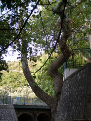 (Psinthos.Net) Tags: summer mountain nature leaves afternoon july treetrunk valley trunk planetrees shrubs paved basicschool     vrisi panaxiaquadripunctaria psinthos               psinthosvalley