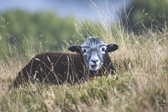 Sheep on the hills (Rob Walker Photography) Tags: portrait nature animal digital landscape photography nikon sheep 300mm winner challenge beginner d90