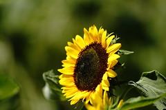 sunflower (ddsnet) Tags: flowers plant sony taiwan 99 sunflower   taoyuan  slt       sungreen singlelenstranslucent 99v