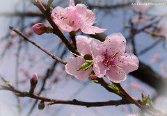Sakura (2) (Kei Cheung (keicheungphotography.wordpress.com)) Tags: japan sakura osaka hanami japanesecherryblossoms