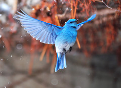 Wings Wide Open (Kevin Casey Fleming) Tags: life blue winter snow mountains cold color cute bird art nature colors animal animals composition interesting wings nikon colorado colorful pretty dof bright action wildlife flight adorable vivid vision birdsinflight environment rockymountains bluebird coloradostateuniversity d90 fethers