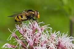 Volucella inanis (Sinkha63) Tags: france macro male nature animal fly wildlife fra hoverfly mouche syrphidae ain diptera insecta hempagrimony rhônealpes eupatoriumcannabinum syrphe tenay volucella volucellainanis eupatoirechanvrine annesorbes volucellevide
