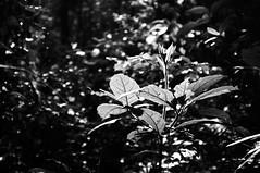 Pequenas coisas da mata (renanluna) Tags: wood trees light blackandwhite folhas luz leaves brasil fuji shadows br sopaulo sp finepix contraste fujifilm 55 pretoebranco mata sombras monocromia 011 rvores contrat 23mm renanluna fujifilmfinepixx100