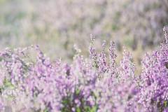 Heather (louise.helen) Tags: scotland nikon dof purple bokeh heather wildflowers indiansummer scottishhighlands totallyrad highlan