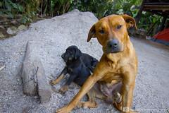 Jungle Trek, Peru (photosbymcm) Tags: travel dog cute peru southamerica animals inca america puppy photography puppies south may culture inka adventure peruvian 2014 quecha photosbymcm matthewmcandrew