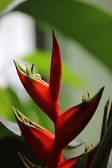 Flamme rouge (StephanExposE) Tags: fleur flower jardin jardindesplantes plantes plante plant greenhouse serre paris iledefrance france orchidée canon 600d 100mm 100mmf28lmacroisusm exotique stephanexpose