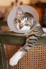 """I hate you"" (AriCaFoix) Tags: chile santiago pet cat kitten gato gata mascota cono elizabethancollar coneofshame collarisabelino"