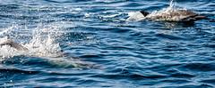 Dolphins: Monterey Bay (John C. Bruckman @ Innereye Photography) Tags: bay monterey moss watching landing dolphins whale common johncbruckman 8312514008 innereyephotography johnjbruckmancom
