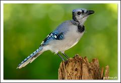 Blue Jay (lindapp57) Tags: bluejay