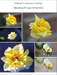 Mosaic of Faded Yellow Roses (chicbee04) Tags: arizona collage morninglight tucson mosaic montage southwesternusa yellowroseoftucson fadedyellowrose