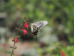 (Polotaro) Tags: nature pen butterfly bug insect olympus  zuiko 8         mzuikodigital45mmf18 epm2