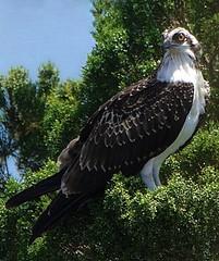 Vigilance (Feathered Trail Photos) Tags: florida osprey mfcc fabuleuse