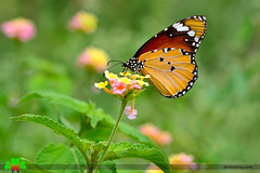 Happiness is like a butterfly ... (ArvinderSP) Tags: flowers nature butterfly naturephotography lantanacamara 578 plaintiger danauschrysippus natureupclose arvindersingh nikon28105f3545d nikond7000 arvindersp butterfiesofindia arvinderspcom