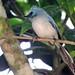 White-tailed blue flycatcher