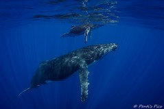 Humpback whales - Reunion Island (Penti's Pics) Tags: ocean sea mer nature reunion animal swimming mammal nikon underwater wideangle diving tokina snorkelling whale bosse humpbackwhale marinemammal runion 1017 megapteranovaeangliae baleine iledelareunion sousmarin d90 reunionisland cetacea megaptera baleineabosse ctace